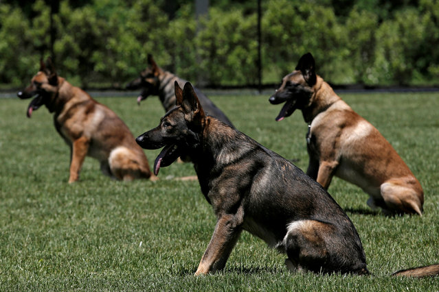 Metropolitan Transit Authority (MTA) Police K-9 explosive detection dogs sit on command during agility training at the new MTA Police Department Canine Training Center in Stormville, New York, U.S., June 6, 2016. (Photo by Mike Segar/Reuters)
