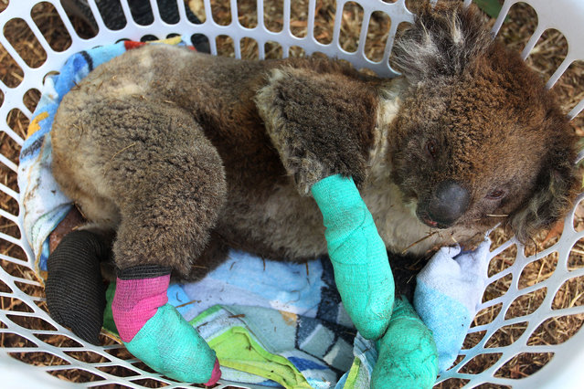 An injured koala rests in a washing basket at the Kangaroo Island Wildlife Park in the Parndana region on January 08, 2020 on Kangaroo Island, Australia. The Kangaroo Island Wildlife Park positioned on the edge of the fire zone has been treating and housing close to 30 koala's a day. Almost 100 army reservists have arrived in Kangaroo Island to assist with clean up operations following the catastrophic bushfire that killed two people and burned more than 155,000 hectares on Kangaroo Island on 4 January. At least 56 homes were also destroyed. Bushfires continue to burn on the island, with firefighters pushing to contain the blaze before forecast strong winds and rising temperatures return. (Photo by Lisa Maree Williams/Getty Images)