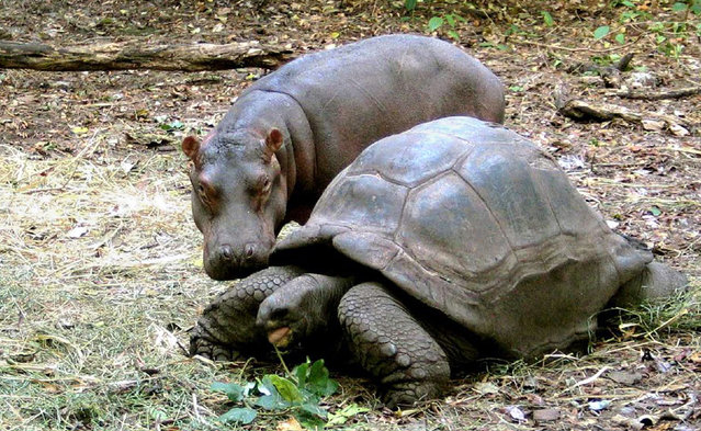 A one year-old baby Hippotamus gets close to his adopted mother a giant male Aldabran tortoise at Haller Park in Mombasa, January 6, 2005. (Photo by Peter Greste/Reuters)