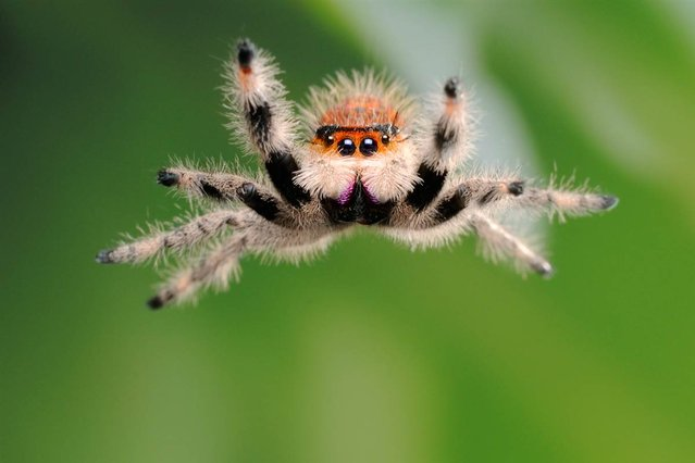 Talk about up close and personal: This female regal orange morph jumping spider jumped directly onto Linstead's camera lens