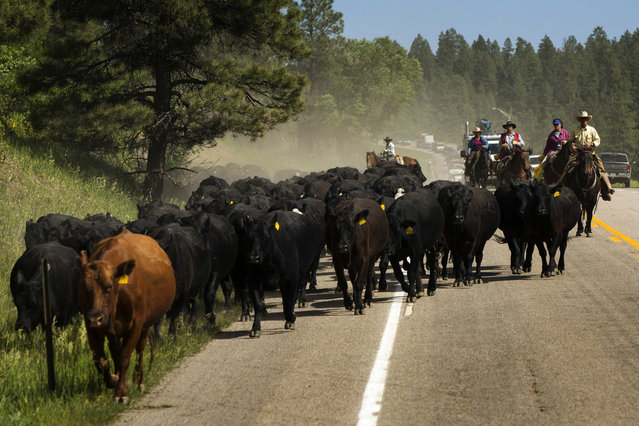 Cowboys push a herd of cattle across Highway 160 near Ignacio, Colorado June 12, 2014. The land where the cattle graze is leased from the Forest Service by third-generation rancher Steve Pargin. Several times a year, he and a crew led by his head cowboy, David Thompson, spend a week or more herding cattle from mountain range to mountain range to prevent them from causing damage to fragile ecosystems by staying in a single area too long. (Photo by Lucas Jackson/Reuters)