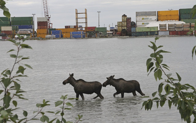 Two moose wade through the high tide at the Port of Anchorage in Anchorage, Alaska, on Monday, July 24, 2017. (Photo by Mark Thiessen/AP Photo)