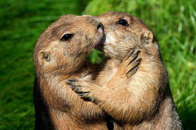 Two prairie dogs are pictured at their new enclosure at the zoo in Dresden, eastern Germany on August 8, 2014. (Photo by Arno Burgi/AFP Photo/DPA)