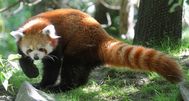 Red panda Ole explores his new open air enclosure at the zoo in Hanover, Germany, on August 3, 2012. The red panda was brought to Hanover to meet three-year-old female red panda Shana and, as zookeepers hope, to become a couple. (Photo by Holger Hollemann/AFP)