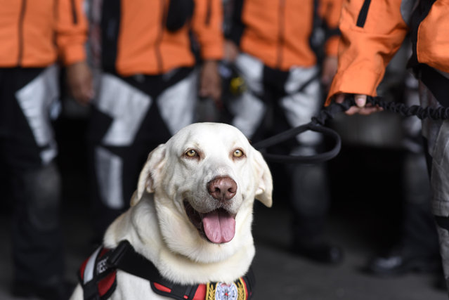 Drago a rescue dog waits with a 47-member group from Guatemala's Search and Rescue team as they get ready at the civil protection headquarters in Guatemala City on September 21, 2017, before heading to Mexico to assist in the humanitarian effort two days after the major earthquake that left more than 230 people dead. (Photo by Johan Ordonez/AFP Photo)