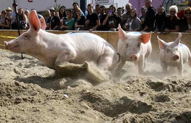 """Pigs from the team """"Rapid pigs from the Jorat"""" round the track during their race on September 16, 2012 at the Swiss fair """"Comptoir Suisse"""" in Lausanne, Switzerland. (Photo by Fabrice Coffrini/AFP)"""