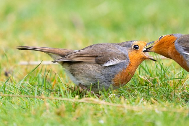 A female robin accepts food from her mate in a garden in Killearn, Stirlingshire, England on April 2020. Courtship feeding strengthens the robins' bond. (Photo by Kay Roxby/Alamy Live News)