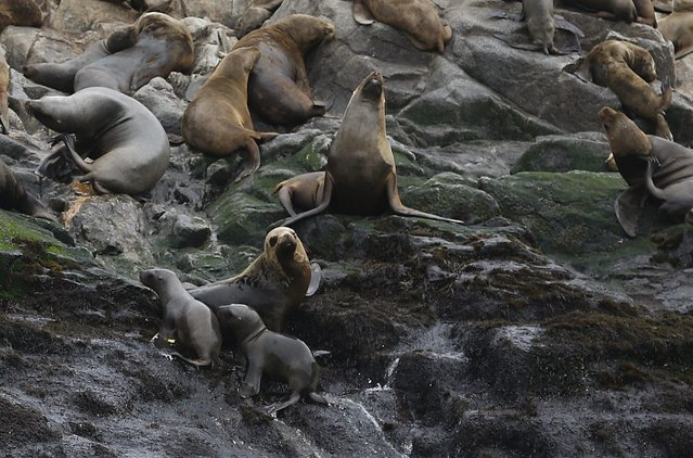 Two of the newly released sea lions (L) climb the rocks next to a sea lion colony at Palomino island, in Callao, Peru September 12, 2015. (Photo by Mariana Bazo/Reuters)