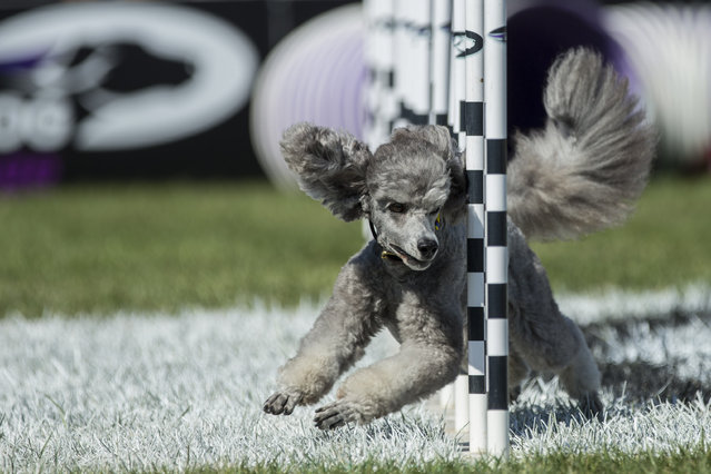 Switch, a 3-year-old Miniature Poodle trained by Geri Hernandez of Riverside, Calif., competes in the agility competition at the Purina Pro Plan Incredible Dog Challenge on Saturday, September 27, 2014 at Purina Farms in Gray Summit, Mo. (Photo by Whitney Curtis/Invision for Purina Pro Plan/AP Images)