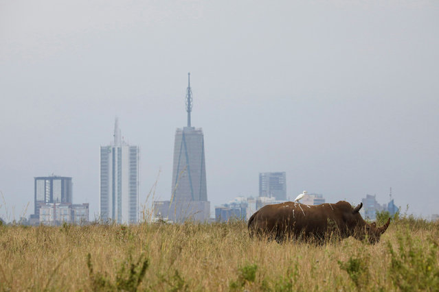 A bird sits on the back of a southern white rhino inside Nairobi National Park with the Nairobi skyline in the background, in Kenya, June 15, 2020. (Photo by Baz Ratner/Reuters)