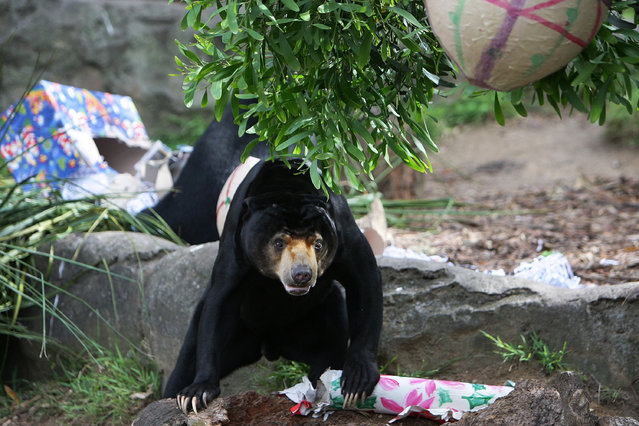 A Sun Bear receives a Christmas treat at Taronga Zoo on December 14, 2012 in Sydney, Australia. Taronga Zoo celebrated Christmas early giving Christmas-themed environmental activities to the Zoo's Giraffes, Sun Bears, Meerkats, Aldabra Tortoise and Cockatoos providing a wonderful natural display for Zoo visitors.  (Photo by Lisa Maree Williams)