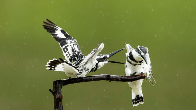 Two pied kingfishers rest on a branch in Xindian Town, Fuzhou City, southeast China's Fujian Province, April 11, 2020. (Photo by Xinhua News Agency/Rex Features/Shutterstock)