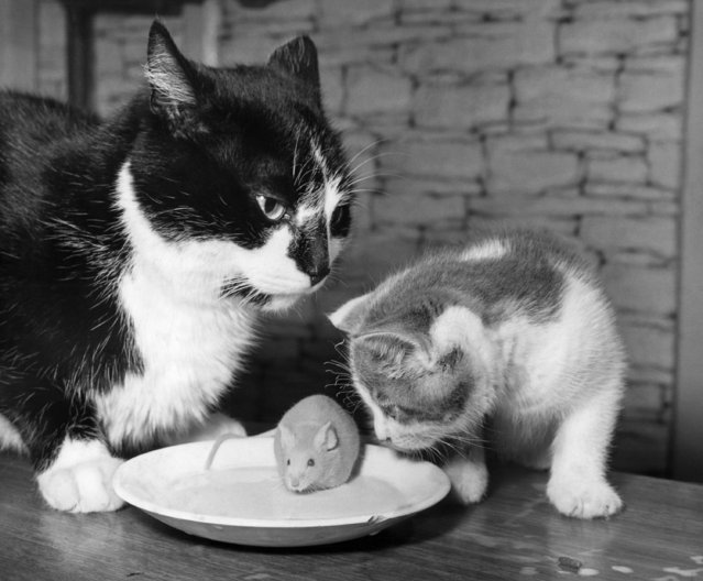 There's a disparity in size between Micky, the mouse, and its feline companions, Tigger, a tom cat, and Tiki, a kitten, as they sample milk at the Oswald home Weston-under-Lizard, Shropsh England on October 12, 1969. (Photo by AP Photo)