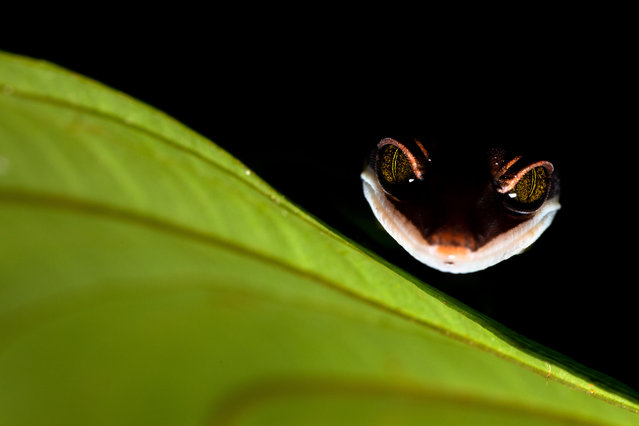 Photographed during a night walk through the Kubah national park on the island of Borneo, a cat gecko, which gets its name from the way it curls up its tail to cover itself while sleeping. (Photo by Bernhard Schubert/Close Up Photographer of the Year 2020)