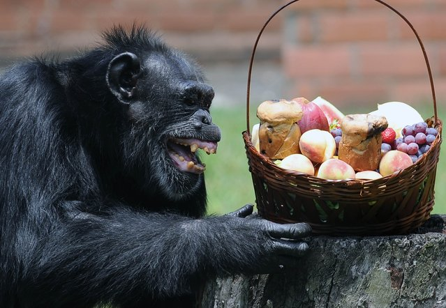 Yoko, a chimpanzee (Pan Troglodytes), reacts after receiving a Christmas hamper, at Rio de Janeiro's Zoo on December 18, 2012. (Photo by Vanderlei Almeida/AFP Photo)