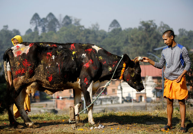 A young Hindu priest offers prayers to a cow during a religious ceremony celebrating the Tihar festival, also called Diwali, in Kathmandu, Nepal October 30, 2016. (Photo by Navesh Chitrakar/Reuters)