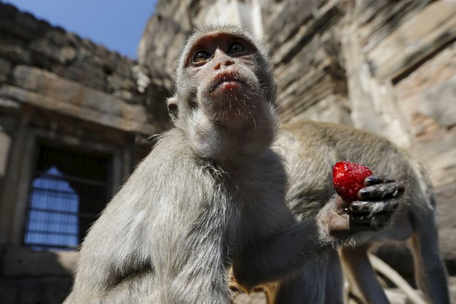 A long-tailed macaque eats strawberries during the annual Monkey Buffet Festival at the Phra Prang Sam Yot temple in Lopburi, north of Bangkok, November 29, 2015. (Photo by Jorge Silva/Reuters)