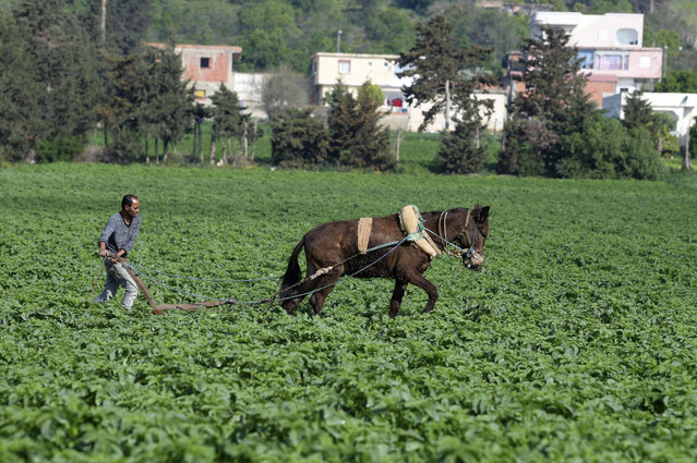 A Tunisian farmer cultivates agricultural land using a traditional method in the Ghar el-Melh region, near Bizerte, in northeastern Tunisia on March 31, 2021. (Photo by Fethi Belaid/AFP Photo)