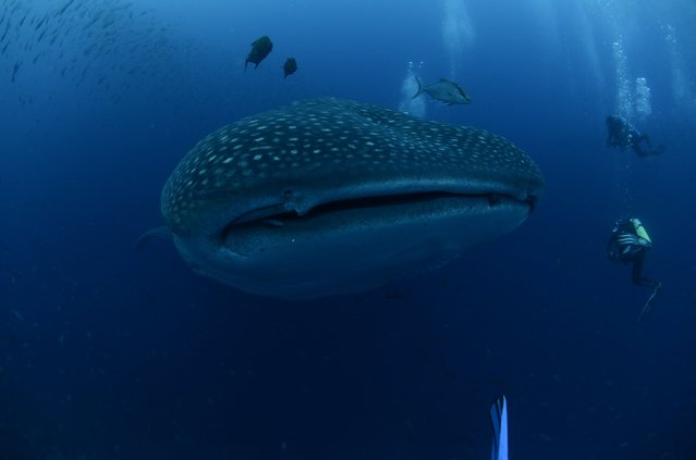 A whale shark is seen in the Galapagos Islands in this September 5, 2012 picture released to Reuters September 26, 2012. Galapagos National Park, Charles Darwin Foundation (CDF) and the University of California – Davis, made satellite tagging of whale sharks in order to understand  this species locally, regionally and globally  in the migration process patterns. (Photo by Jonathan Green/Reuters/Galapagos National Park)