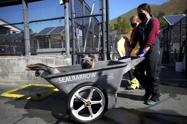 Volunteers push an Elephant Seal pup in a cart at The Marine Mammal Center on May 08, 2021 in Sausalito, California. Sea lions in California are facing a surge in cancer cases that are potentially linked to thousands of barrels of DDT that were dumped in the Pacific Ocean off the Southern California coast decades ago. A research vessel from Scripps Institution of Oceanography at University of California San Diego recently discovered and photographed over 27,000 barrels possibly containing the toxic substance DDT (dichloro-diphenyl-trichloroethane) on the seafloor between Santa Catalina Island and the Los Angeles coast. The Marine Mammal Center has found that approximately one in five California adult sea lions have died from cancer. (Photo by Justin Sullivan/Getty Images)