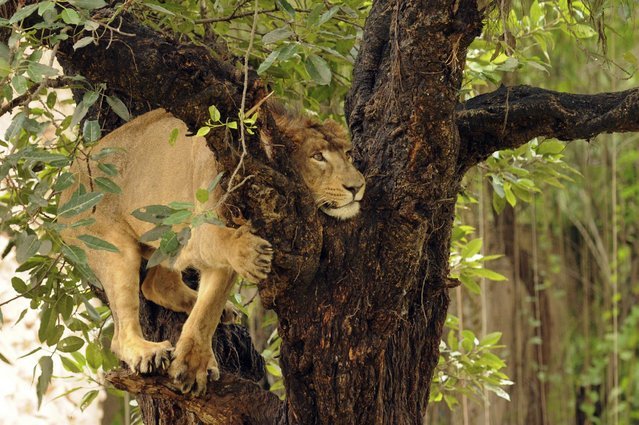 A lion climbs on to a tree at the Zoo on October 7, 2013 in Lucknow, India. (Photo by Hindustan Times)