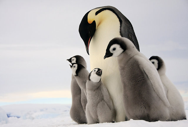 A raft of baby emperor penguins and their mother. (Photo by Dafna Ben Nun/Caters News)