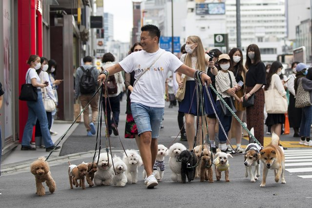 Professional dog walker Nobuaki Moribe leads his clients' pets across an intersection in Tokyo on Friday, May 28, 2021. (Photo by Hiro Komae/AP Photo)