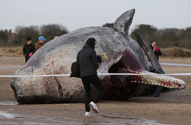 A sperm whale lies on the sand after being washed ashore at Skegness beach in Skegness, Britain January 25, 2016. (Photo by Andrew Yates/Reuters)