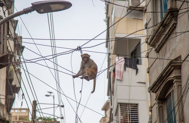 A wild Rhesus macaque monkey sit on the electric wire on the premises of the Sadhana Aushadhalaya, an herbal medication factory in Gandaria area in Old Dhaka, Bangladesh 14 August, 2021. Rhesus macaques are Asian, Old World monkeys. Their natural range includes Bangladesh, Afghanistan, Pakistan, India, Southeast Asia, and China. This is most common in India, where Hindus regard the animals as sacred and usually leave them undisturbed. (Photo by Monirul Alam/EPA/EFE)