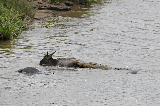 The gnu struggling to get to the bank of the river is dragged back by the crocodile, a hippo is seen strafing both animals. (Photo by Vadim Onishchenko/Caters News)