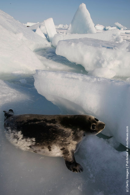 A harp seal pup