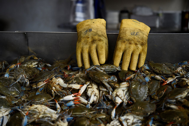 Empty gloves are seen at the side of a tray of Maryland Blue Crabs at Maine Avenue Fish Market which is the United States oldest fish market in continual operation since 1805, in Washington, U.S., May 6, 2019. (Photo by Clodagh Kilcoyne/Reuters)