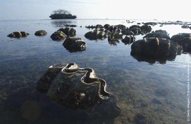 Tridacna Gigas, or Giant Clams