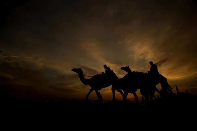 Racing camels and their handlers arrives early morning prior to the start of the Al Marmoom Heritage Festival at the Al Marmoom Camel Racetrack on April 08, 2019 in Dubai, United Arab Emirates. The festival promotes the traditional sport of camel racing within the region. (Photo by Francois Nel/Getty Images)