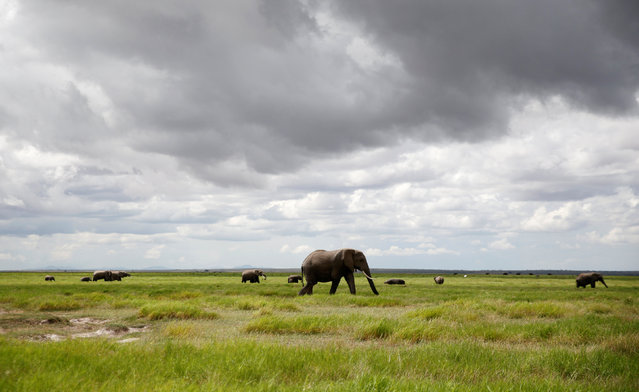 Elephants graze in the open field within the Amboseli National Park, southeast of Kenya's capital Nairobi, April 25, 2016. (Photo by Thomas Mukoya/Reuters)