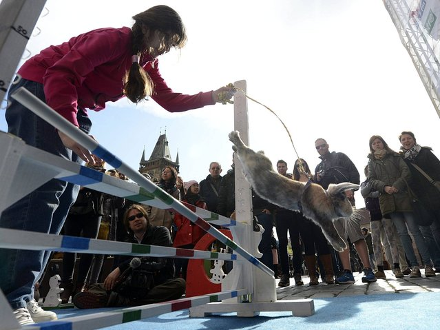 The hares jump miniature fences and hurdles in a steeple chase race as far as 3 meters (nearly 9 feet). (Photo by Filip Singer/EPA)