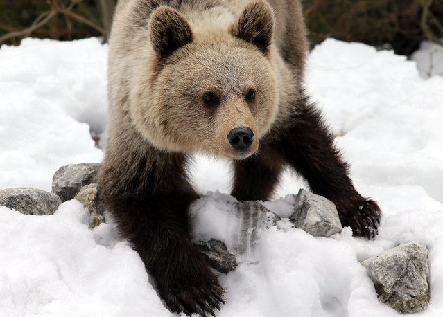 A young brown bear on Myslenickie Turnie, in Zakopane, Poland, 29 April 2016. Bears in the Tatra National Park are waking up after their winter hibernation. (Photo by Grzegorz Momot/EPA)