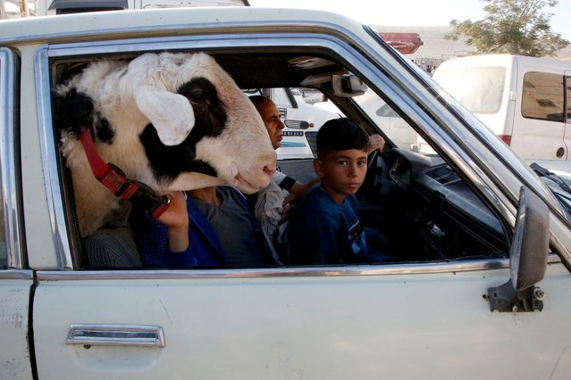 "A Palestinian boy sits in a car next to a goat on their way to a livestock market in the West Bank city of Hebron on August 9, 2019, as muslims prepare for the Eid al-Adha celebrations. Known as the ""big"" festival, Eid Al-Adha is celebrated each year by Muslims sacrificing various animals according to religious traditions, including cows, camels, goats and sheep. (Photo by Hazem Bader/AFP Photo)"