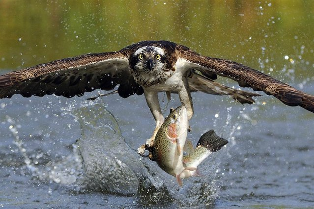 The osprey image was a personal obsession of mine