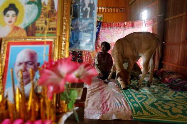 Khim Hang, 74, sits at her bedroom with a cow which she believes is her reborn husband in Kratie province, Cambodia on July 20, 2017. (Photo by Samrang Pring/Reuters)