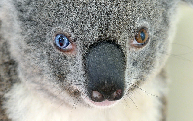 This undated handout photo received from Australia Zoo on July 12, 2016 shows a koala named Bowie with different coloured eyes at the zoo, north of Brisbane. With one bright blue eye and one brown, a koala with a rare condition known as heterochromia has dazzled vets in Australia who have named her Bowie after the late singer. The marsupial was recently admitted to the Australia Zoo Wildlife Hospital north of Brisbane after apparently being hit by a car, with vets stunned to find she had different coloured eyes – much like David Bowie's. (Photo by AFP Photo/Australia Zoo)