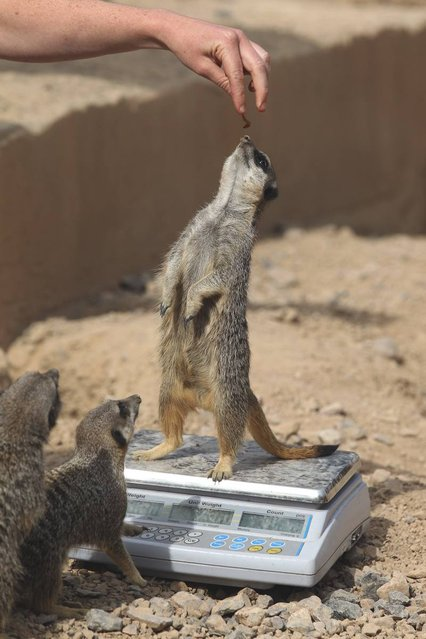 Meerkats are weighed and measured during the ZSL London Zoo 's annual weigh-in on August 22, 2012 in London, England