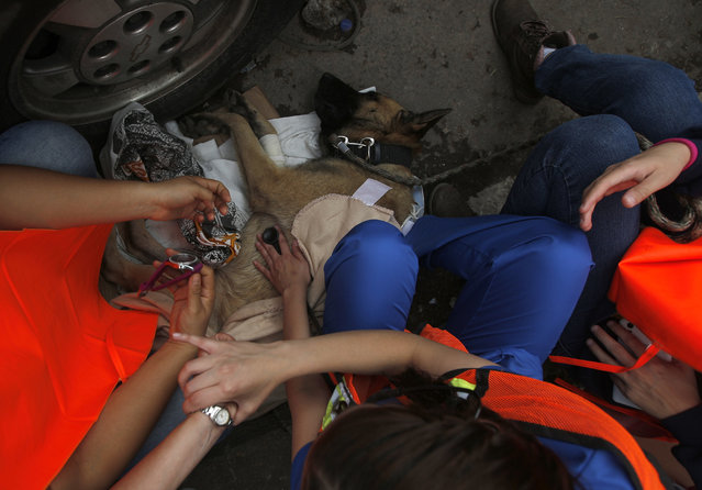 A rescue dog is helped to recuperate by volunteers after he became exhausted during search and rescue operations at a building felled by a 7.1 magnitude earthquake, in the Ciudad Jardin neighborhood of Mexico City, Thursday, September 21, 2017. (Photo by Eduardo Verdugo/AP Photo)