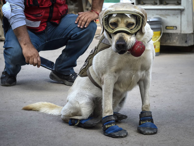 Frida, a rescue dog belonging to the Mexican Navy, with her handler Israel Arauz Salinas, takes a break while participating in the effort to look for people trapped at the Rebsamen school in Mexico City, on September 22, 2017, three days after the devastating earthquake that hit central Mexico. (Photo by Omar Torres/AFP Photo)
