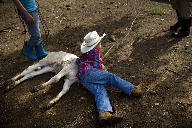 In this July 29, 2016 photo, 5-year-old cowboy David Obregon holds down a calf during an improvised rodeo event at a farm in Sancti Spiritus, central Cuba. In the Cuban countryside, many children learn to ride a horse before they learn to ride a bicycle as well as skills like roping and riding along with more practical education. Those who grow up to be the best start farm- and ranch-related studies at local universities without passing the difficult national entrance exam. (Photo by Ramon Espinosa/AP Photo)