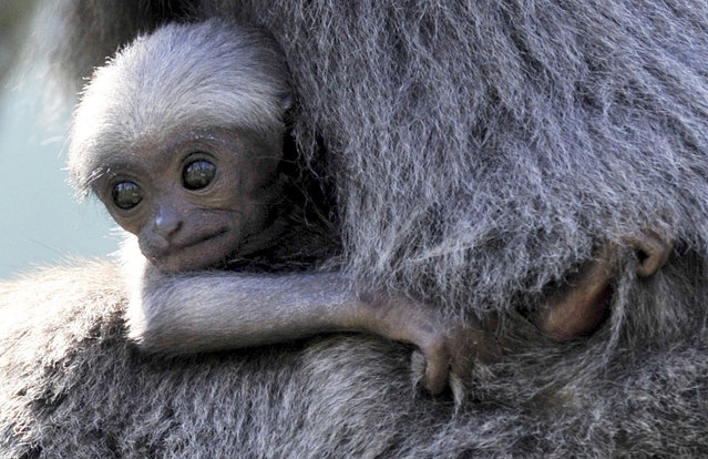 A baby silvery gibbon clings to its mother Pangrango (age 15) at the Hellabrunn Zoo in Munich, Germany, on September 14, 2012. The baby primate was born on August 19, 2012. (Photo by Frank Leonhardt/Zuma Press)