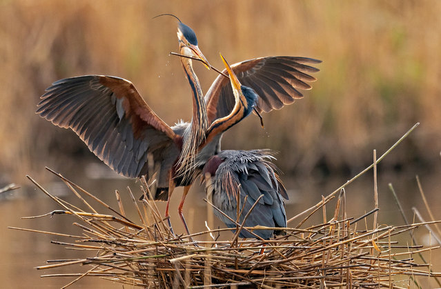 Purple herons (Ardea purpurea) with nesting material flies during breeding season in the nature reserve Wagbachniederung in Waghausel near Karlsruhe, Germany, 13 April 2020. The Wagbachniederung is an important breeding and resting place in Europe for breeding birds, which are endangered by extinction, and is one of the most important bird protection areas in Germany. (Photo by Ronald Wittek/EPA/EFE)