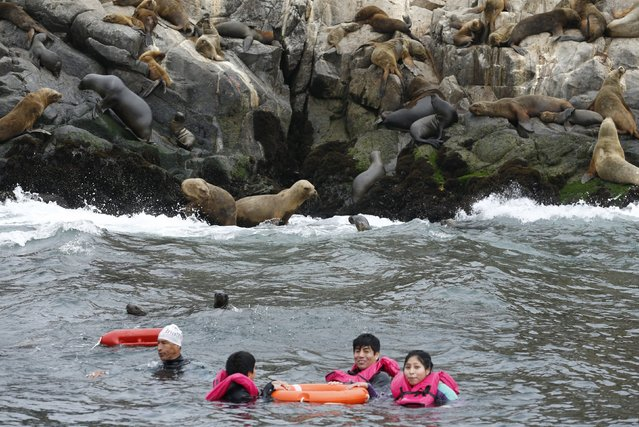 Tourists swim near a colony of sea lions in front of the Palomino island in  Callao, Peru, September 12, 2015. (Photo by Mariana Bazo/Reuters)