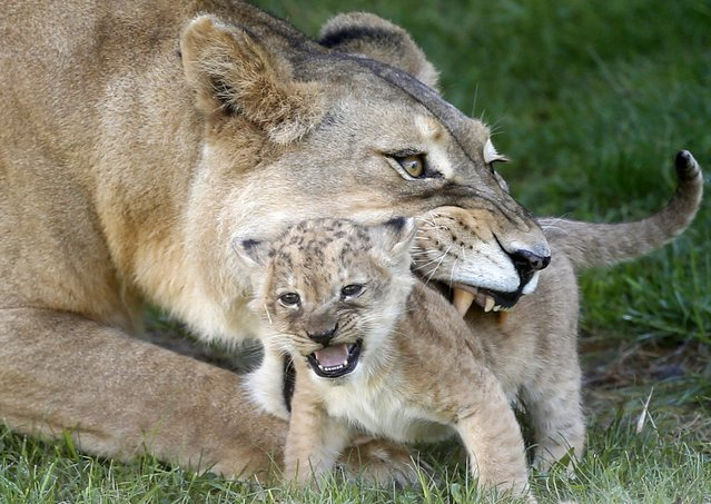 A lioness plays with her cub at the zoo in Sarajevo October 10, 2014. The first lion cub born at the Sarajevo Zoo is to make his debut appearance on Friday. The four-week-old cub was born to the pair of lions that arrived as a donation to the Sarajevo Zoo more than two decades after its last lions starved to death during the siege of Sarajevo by the Bosnian Serb forces. (Photo by Dado Ruvic/Reuters)