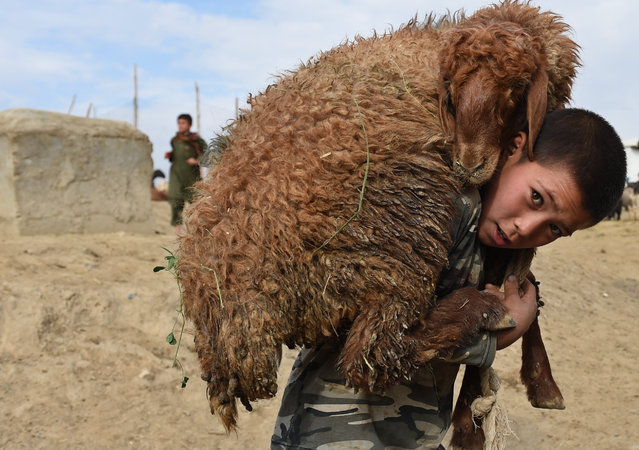 An Afghan boy carries a sheep on his shoulder at a livestock market ahead of the sacrificial Eid al-Adha festival in Kabul on Septmber 22, 2015. Muslims across the world are preparing to celebrate annual festival of Eid al-Adha or the festival of sacrifice which marks the end of the Hajj pilgrimage to Mecca and commemorates prophet Abraham's readiness to sacrifice his son to show obedience to God. (Photo by Shah Marai/AFP Photo)